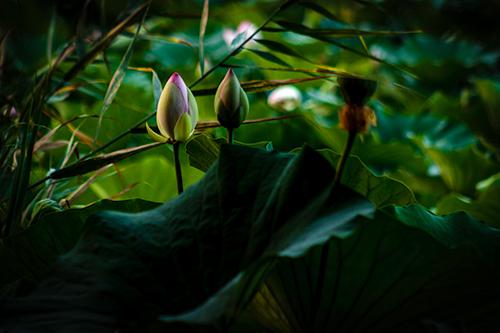 Distinguished Waterlilies - Study I - lotusi, lotusi egipteni, lotusi egipteni de bucuresti, bucuresti, romania, fotografie