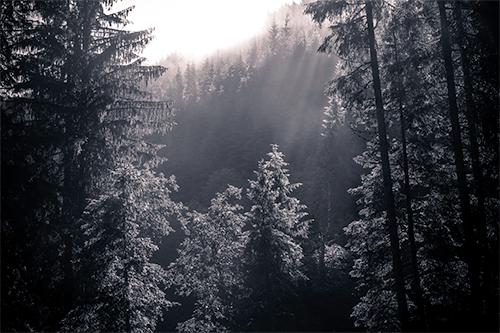 Good Morning Trees - Study II - woods, woodland, forest, morning, light, photography, nature, fine-art